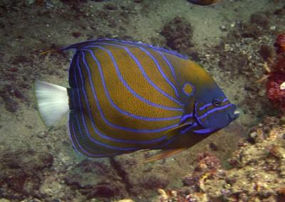 Bluering Angelfish [Andaman]