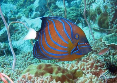 Bluering Angelfish [Gulf]
