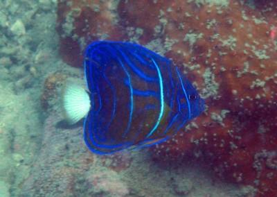 Bluering Angelfish - subadult