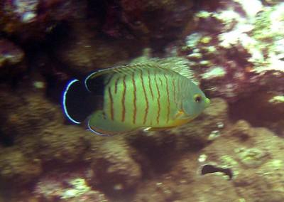 Eibl's Angelfish