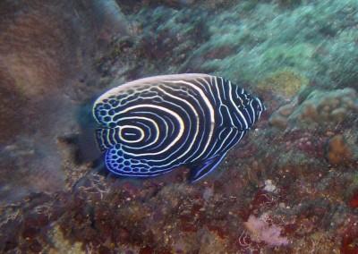 Emperor Angelfish - juvenile