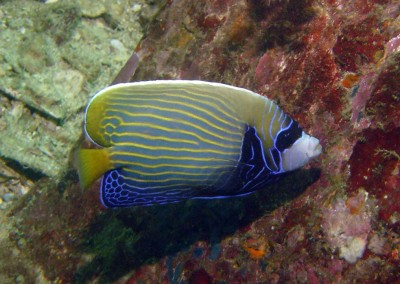Emperor Angelfish - subadult