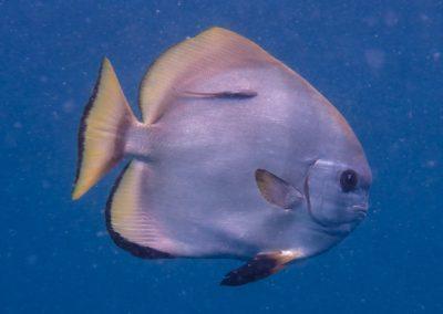 Boer's Batfish