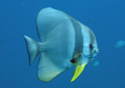 Longfin Spadefish - adult