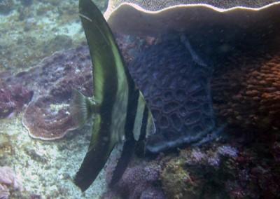 Longfin Spadefish - juvenile