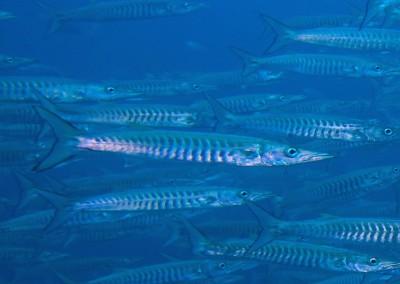 Sawtooth Barracuda
