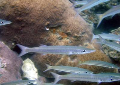 Sharpfin Barracuda