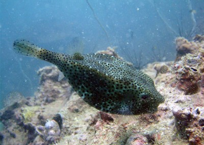 Largenose Boxfish