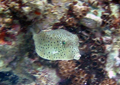 Shortnose Boxfish - juvenile