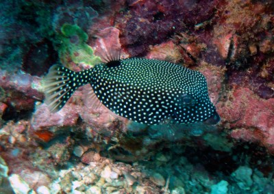 Spotted Trunkfish - female