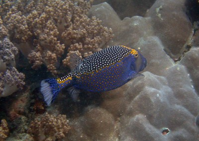 Spotted Trunkfish - male