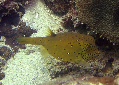 Yellow Boxfish - subadult