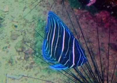 Six-banded Angelfish - juvenile