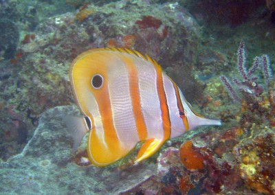 Beaked Butterflyfish
