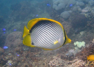Black-backed Butterflyfish