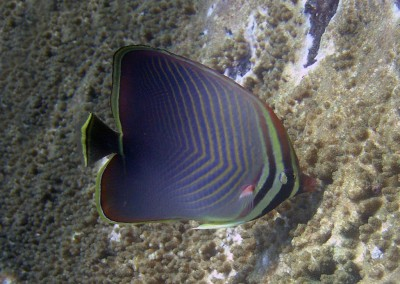Eastern Triangle Butterflyfish