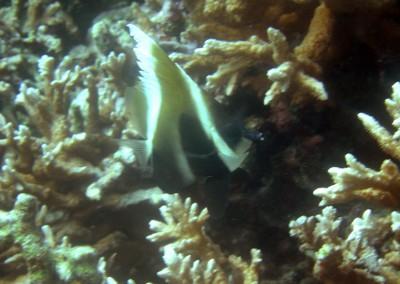 Humphead Bannerfish - juvenile