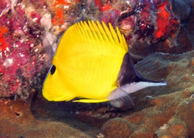 Longnosed Butterflyfish