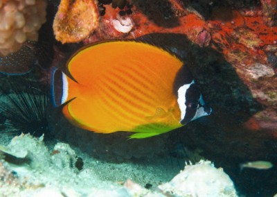 Weibel's Butterflyfish