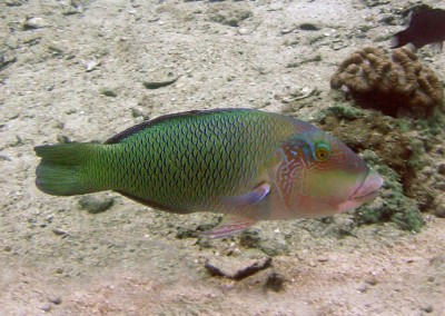 Blackedge Thicklip Wrasse