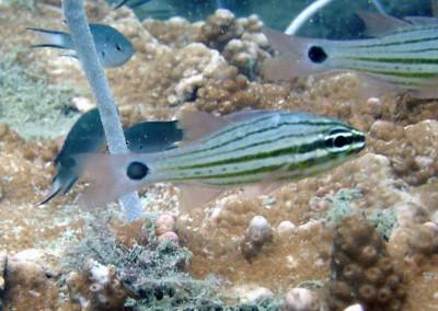 Broad-striped Cardinalfish