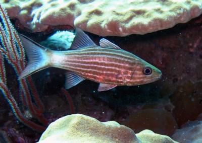 Eight-lined Cardinalfish