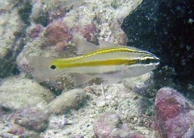 Cavite Cardinalfish