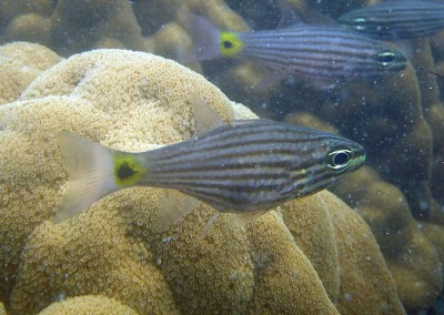 Lined Cardinalfish