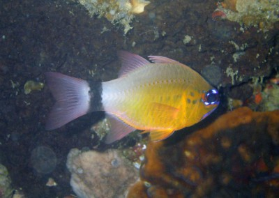 Ring-tailed Cardinalfish