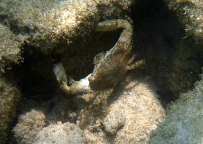 Crenate Swimming Crab
