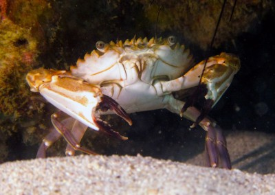 Purple-legged Swimmer Crab