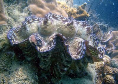 Squamose Giant Clam