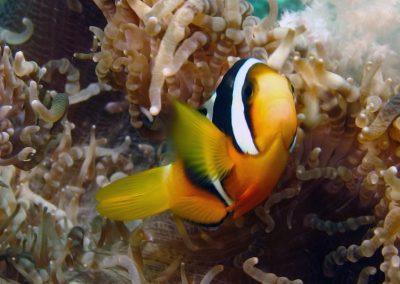Sebae Anemonefish