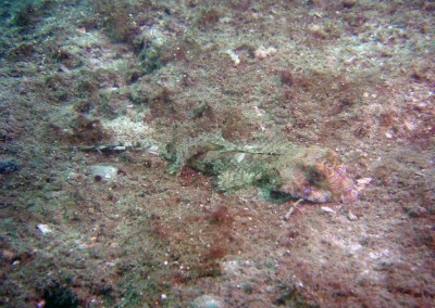 Fingered Dragonet - male