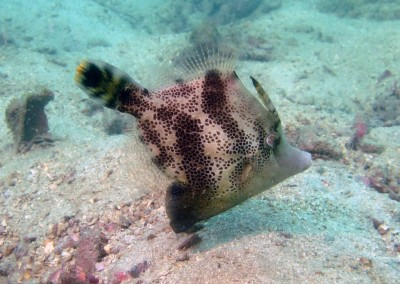 Fan-bellied Filefish