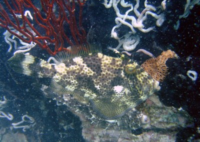 Peron's Filefish