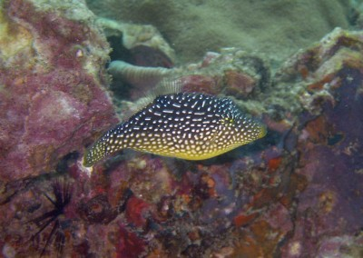 Spotted Puffer Mimic