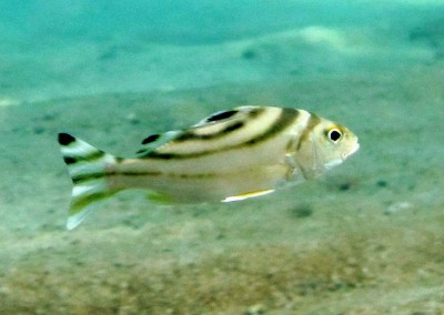 Crescent-banded Grunter