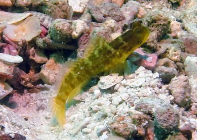 Yellow Prawn Goby