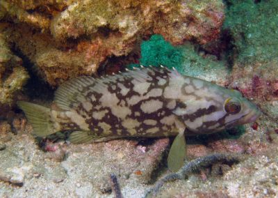 Cloudy Grouper