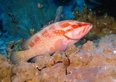 Sixspot Grouper