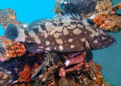 Specklefin Grouper (Andaman)