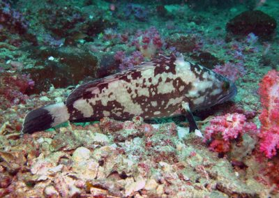 Whitespotted Grouper (Andaman)