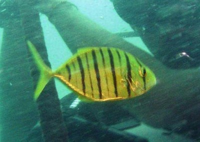 Golden Trevally - subadult