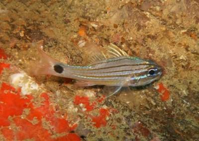Hartzfeld Cardinalfish