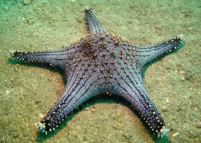 Spotted Sea Star