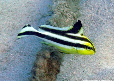 Painted Sweetlips - juvenile
