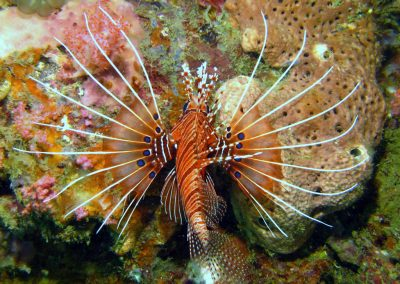 Spotfin Lionfish - top view