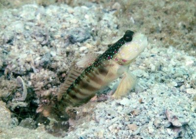 Lepthocephalus Prawn-goby