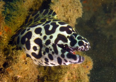 Black-blotched Moray